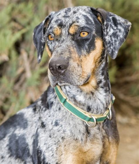 catahoula breed 10 cool facts about catahoula leopard dogs catahoula leopard up
