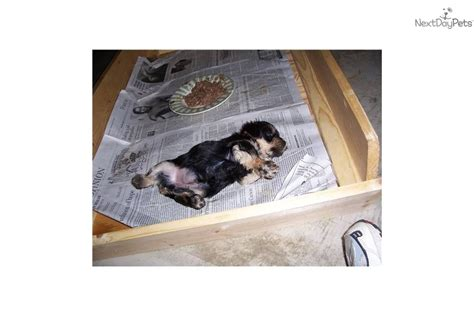yorkie bichon puppies for sale near me bichon frise puppy for sale near pittsburgh pennsylvania 012ac051 4c01