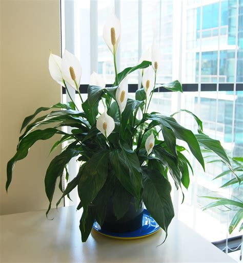 Best Herbs To Grow Indoors plants amp flowers 187 spathiphyllum wallisii mauna loa