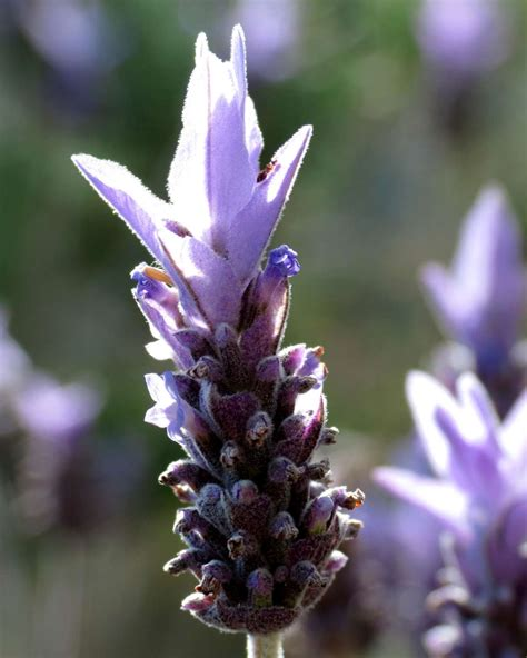 french lavender planting pruning care origin  tips