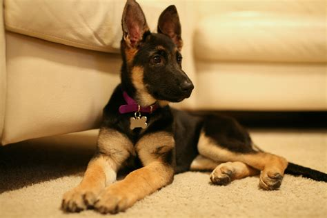 purebred german shepherd puppy all about purebred german shepherd puppies