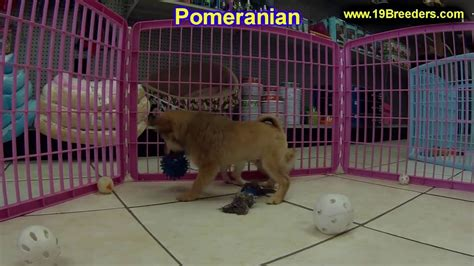 puppies for sale in fairbanks pomeranian puppies dogs for sale in anchorage alaska ak 19breeders fairbanks