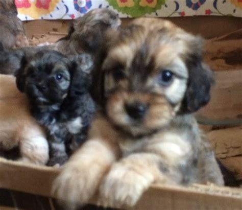 havanese puppies san antonio cloud nine cavalier king charles spaniels and cavanese puppies in san antonio tx