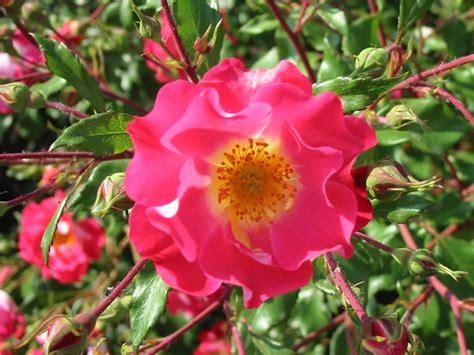 fiori fotografie gratis enzorosso sfondi gratis