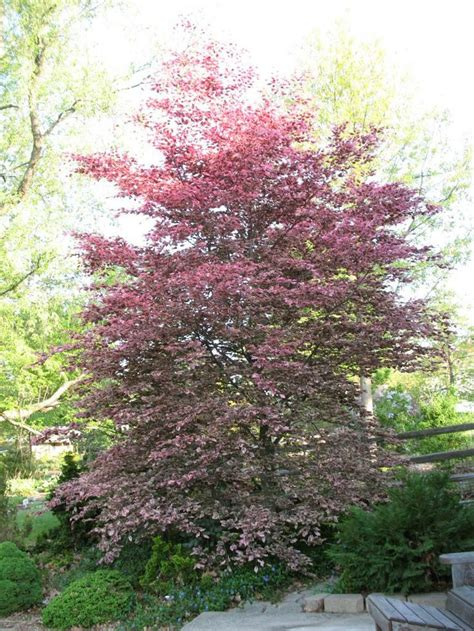 tri colored beech 17 best images about the garden on gardens