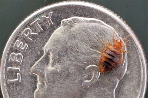 bed bugs size how to