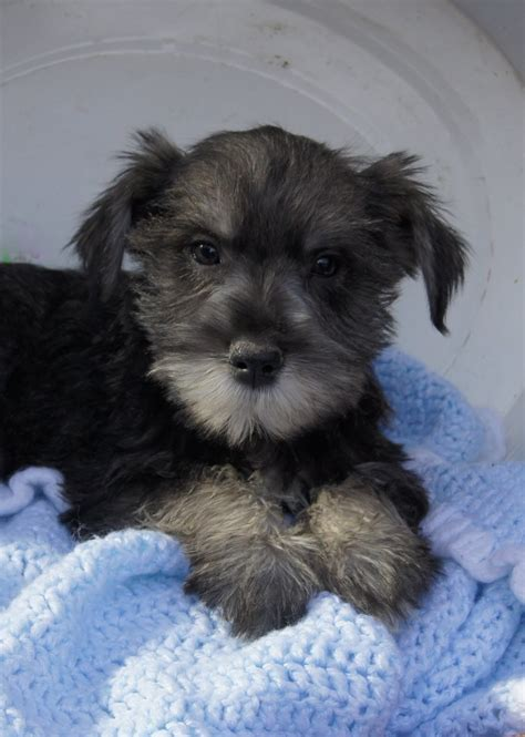 salt and pepper schnauzer puppies for sale salt amd pepper miniature schnauzer puppies for sale