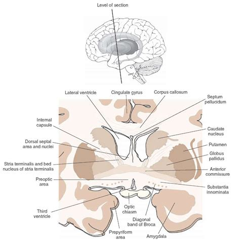 the forebrain organization of the central nervous system