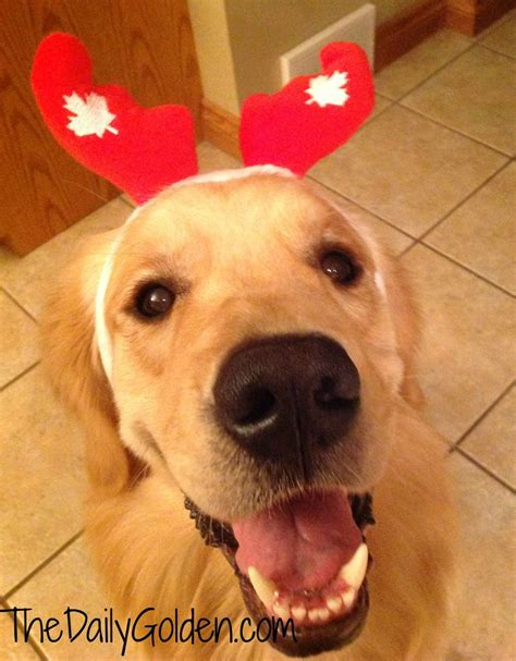 golden retriever canada 1000 images about golden retrievers on happy canada day happy