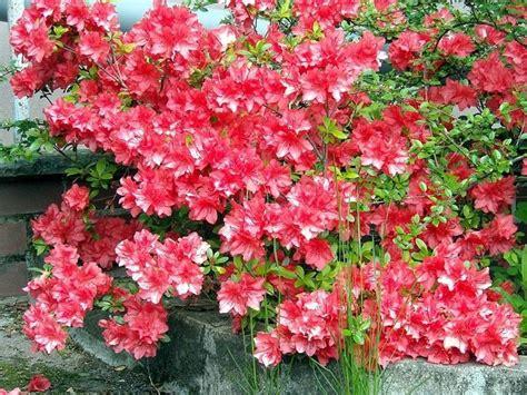 azalea coltivazione in vaso azalea coltivazione piante da giardino consigli per