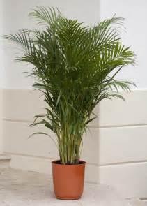areca palm palm trees pinterest