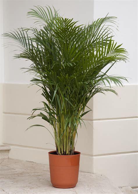 areca palm areca palm palm trees pinterest