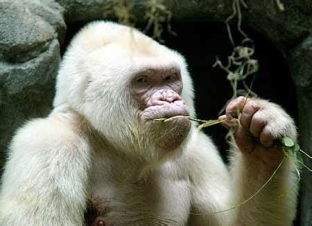 merak albino anggrek 10 hewan albino paling langka yang di dunia