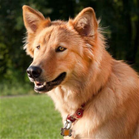 golden retriever and alaskan husky mix goberian breed 187 everything about golden retriever