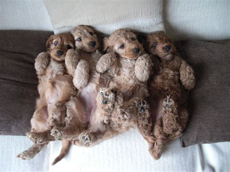 Gorgeous F1 Cockapoo Puppies   Sold out   Stoke On Trent