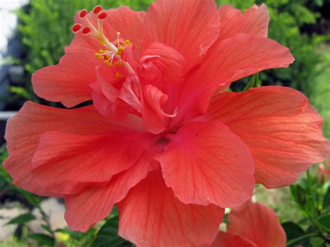 beautiful plants beautiful hibiscus flowers