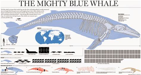 whale diagram the size of a heart of a blue whale anagrammatt2