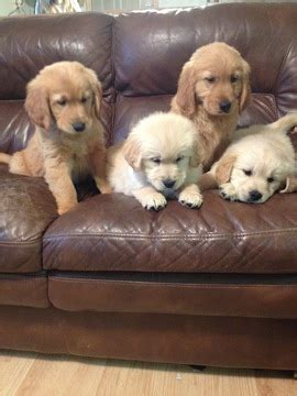 golden retriever puppies malta view ad golden retriever puppy for sale rhode island cranston usa