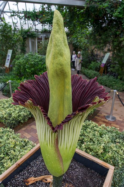 corpse flower thousands line up for rare corpse flower bloom near