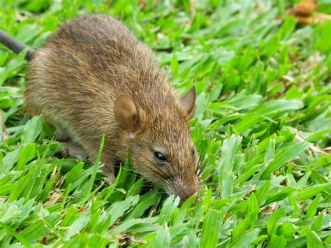 toronto gets flooded by rats following big construction