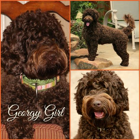 labradoodle puppies rescue 17 best images about legendary labradoodles on pets sock monkeys and