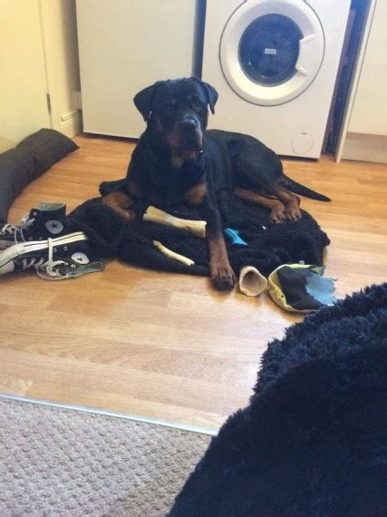 rottweiler needs rottweiler needs time family rushden northtonshire pets4homes
