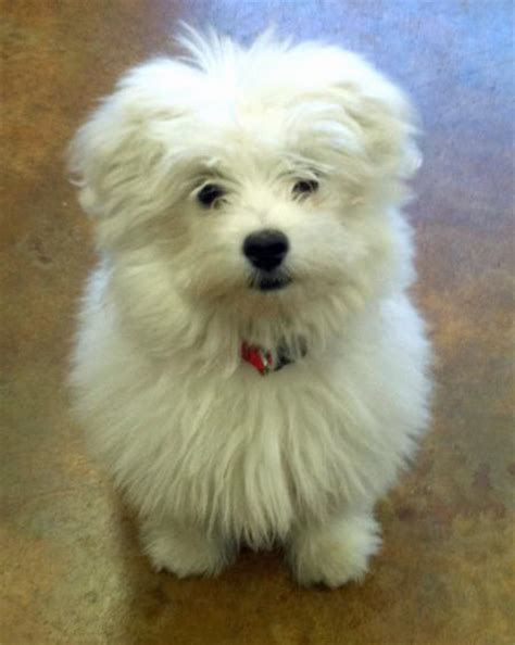 maltese pomeranian puppy bruce the maltese mix dogs daily puppy