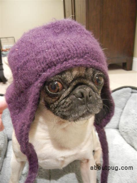 pugs in pugs in hats about pug