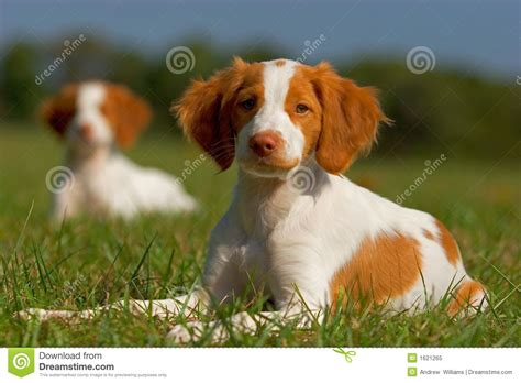 free puppies in idaho spaniel puppies stock image image of 1621265