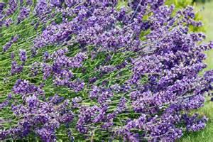 lavender flowers free stock photo public domain pictures
