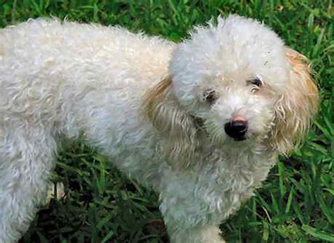 are poodles dogs gallery white poodle