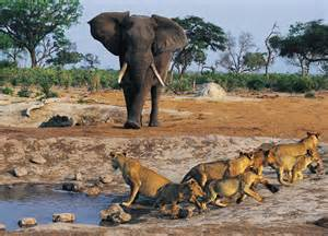 afrika le wildography safaris 187 archive lions hunt elephants