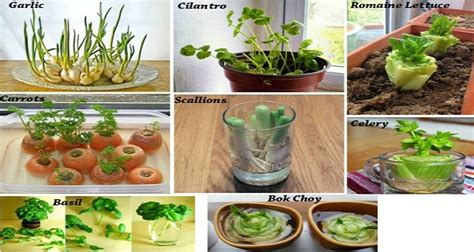 8 vegetables that regrow 8 vegetables that you buy once and regrow forever