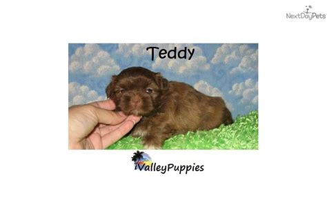 shih tzu puppies for sale in mcallen tx shih tzu puppy for sale near mcallen edinburg 557165ab 2341