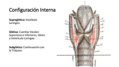anatom 237 a de la laringe - Vestibulo Laringeo