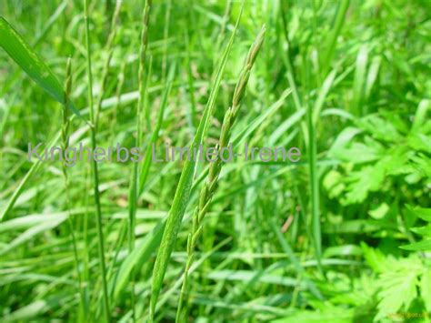 couch grass rhizome couch grass root extract products china couch grass root