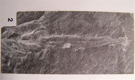 Ransel Fossil 62 Rv neuropteris brongniart sternberg 1825