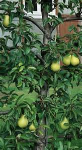 when do pear trees produce fruit my pear tree won t produce fruit monty don answers your