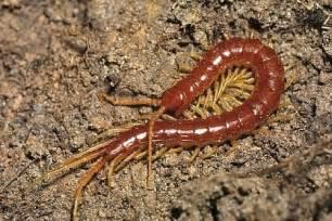 anatomi hewan myriapoda