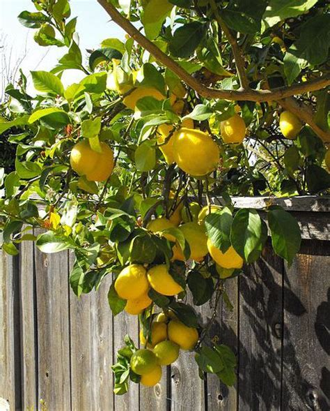 new year citrus tree lemon tree for new year 28 images our lemon tree 187