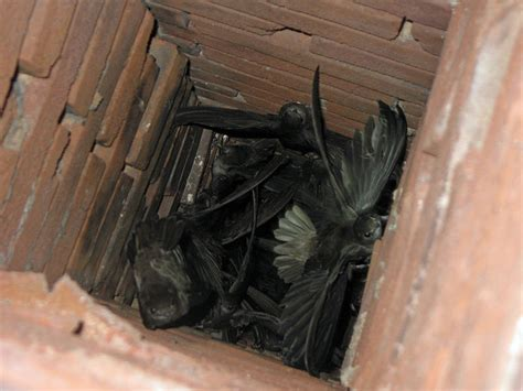 How To Get Bird Out Of Fireplace by New Hshire Birds Wildlife Journal Junior