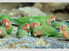 Rosy-faced Lovebird – Bird & Wildlife Photography by ... Habitat Online Shop