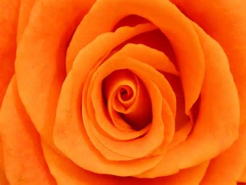 rosy color images of the color orange www pixshark images