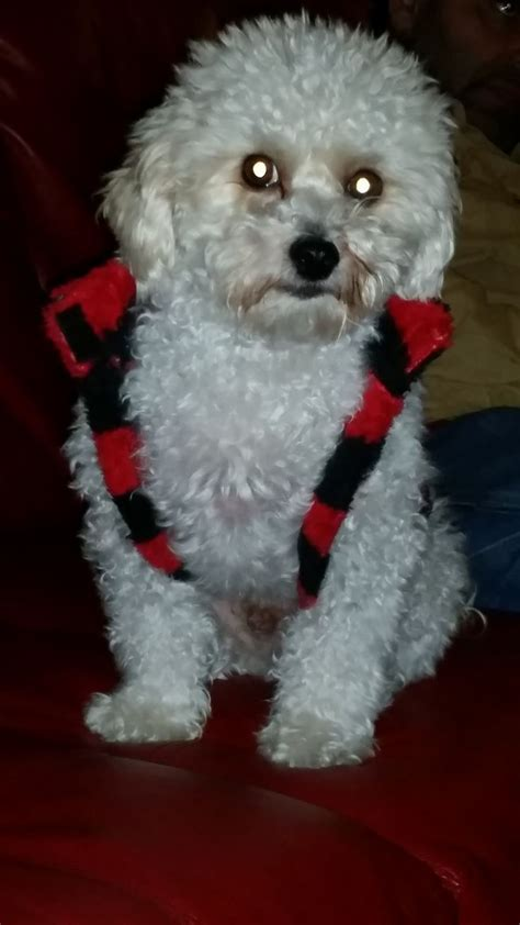Maltese Poodle Haircuts 1000 Images About Maltipoo With 28 More Ideas