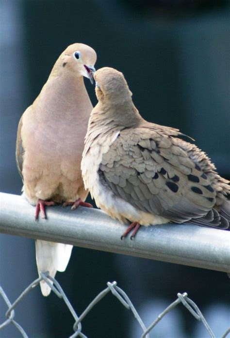 mating doves love pinterest