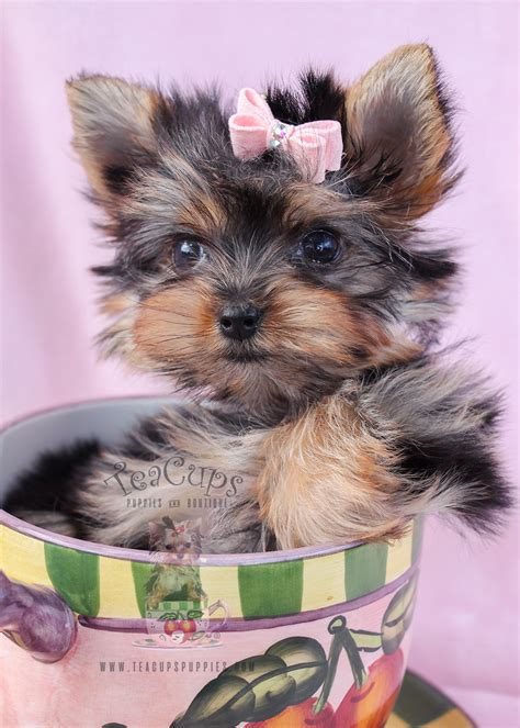 teacup yorkie collars delightful teacup yorkie puppies for sale teacups puppies boutique