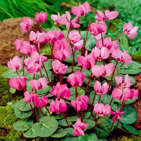 Winterharte Orchideen Im Eigenen Garten 1463 by Rosa Vorfr 252 Hlings Alpenveilchen Kaufen Bei G 228 Rtner