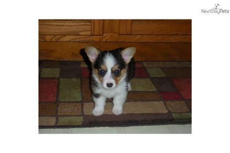 corgi puppies for sale mn corgi pembroke for sale for 400 near rochester minnesota 02c53b5a 80a1