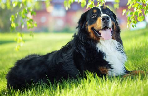 bernese mountain cost 11 most expensive dogs to own you ll be surprised