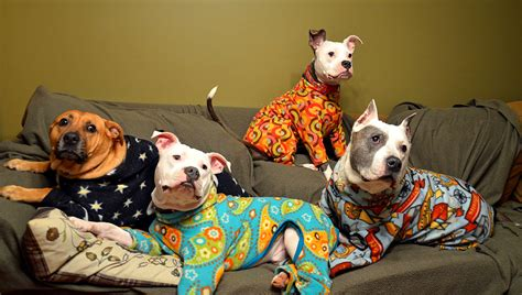 puppies in pajamas these pit bulls in pajamas will make you fall in